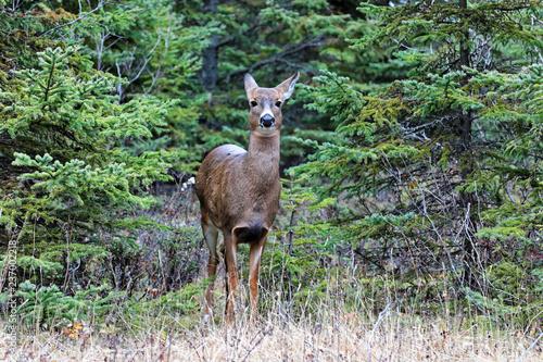 Fototapeta Virginia doe deer surprised at the Bic National Park