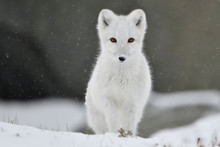 Young Arctic Fox In White Fur And With Snow Looking At Camera