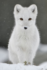 Portrait of Arctic fox at D...