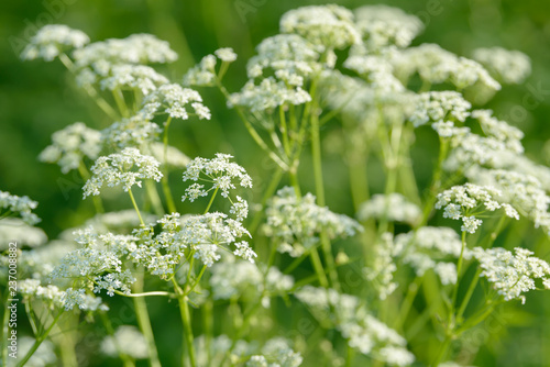 Anise flower field. Food and drinks ingredient. Canvas Print