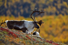 Wild Mountain Reindeers In Mou...