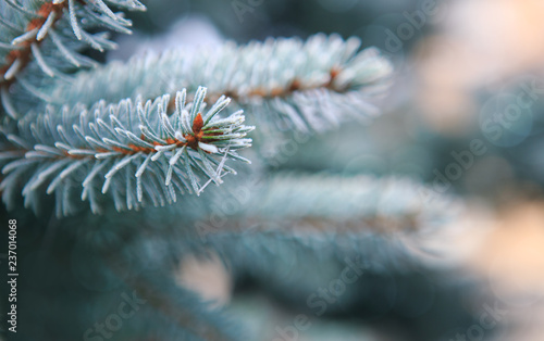 Pine tree branches covered with snow. Winer background.