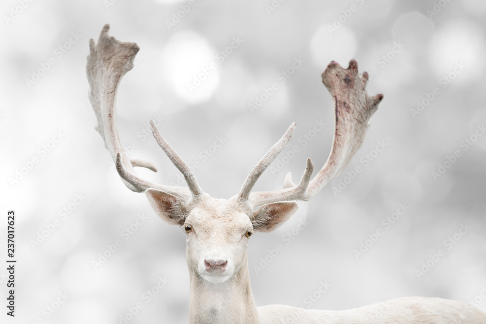 Portrait of beautiful white fallow deer in winter time.