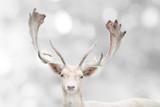 Portret piękny biały daniele w zimie. - 237017623
