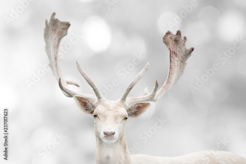 Poster Cerf Portrait of beautiful white fallow deer in winter time.
