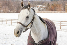 The Head Of A Grey Horse With A Blanket On In A Snowy Pasture.