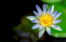 Blooming Water Lilly Or Lotus In A Pond, Flat Top View With Dark Copy Space