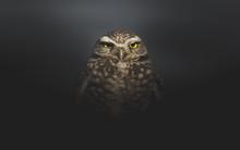 Grumpy Burrowing Owl Waking Up...
