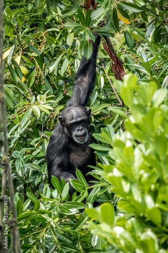 Canvas Print chimpanzee