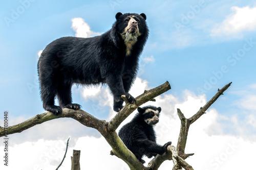 Stampa su Tela andean bear on tree