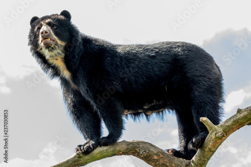 Photo andean bear