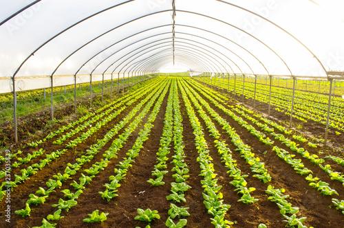Fotografie, Obraz  serra per la coltivazione di ortaggi biologici