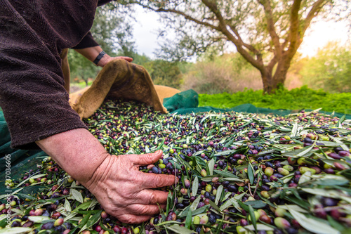 Fotografia Harvested fresh olives in sacks in a field in Crete, Greece for olive oil production, using green nets