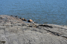 Black-headed Gull Standing By The Rocky Shore Of A Lake