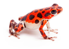 Poison Dart Or Arrow Frog, Red...