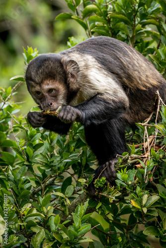 Photo buffy-headed capuchin