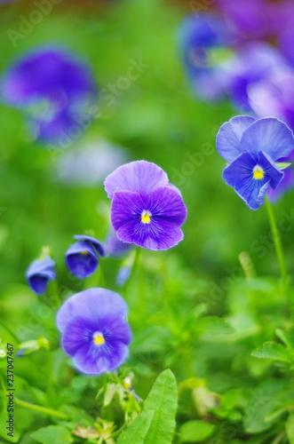 Fotografie, Obraz  Purple pansy flower closeup
