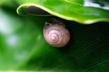 Closeup Of Cute Little Snail Under The Big Leaf