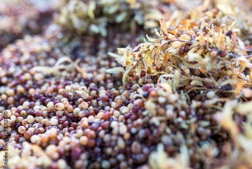 Close up of Sargassum seaweed, a genus of brown (class