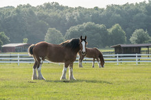 Grazing Clydesdale Horses In Pasture