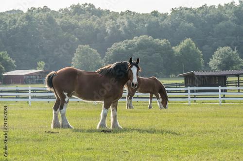 Valokuvatapetti Grazing Clydesdale horses in pasture