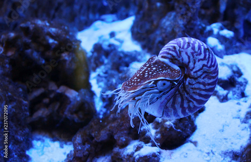 The Chambered nautilus (Nautilus pompilius) in neon light in aquarium