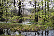 Green Forrest Swamp Scene. Spring Season In Poland Forest.