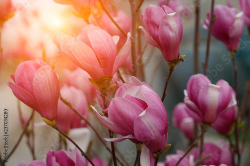 Tuinposter Magnolia magnolia