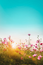 Beautiful Cosmos Flowers In Garden Background.