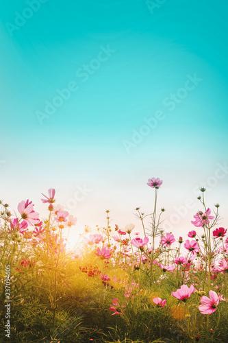 Okleiny na drzwi - Kolorowe - Wielobarwne  beautiful-cosmos-flowers-in-garden-background