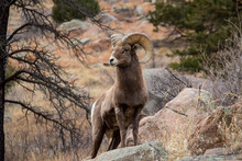 A Bighorn Sheep Stands Alert O...