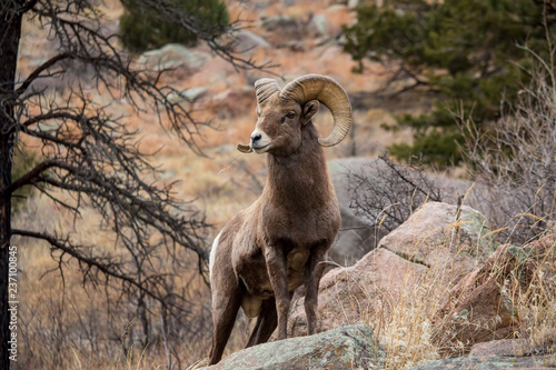 A bighorn sheep stands alert on a boulder while chewing on grass. Wallpaper Mural