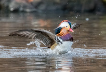 Mandarin Duck Flapping In Central Park Pond