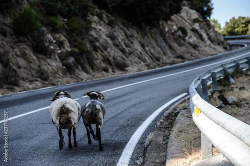Plakat Kozy idące drogą