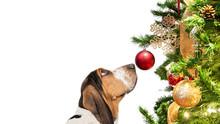 Basset Hound Dog Looking At Christmas Tree