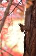 秋の朝のエゾリス