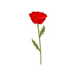 Red poppy flower with stem and leaves, botanical symbol vector Illustration on a white background