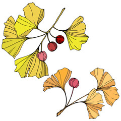 Vector. Ginkgo leaf. Plant botanical garden. Isolated ginkgo illustration element on white background.
