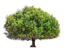 Argan Tree Isolated