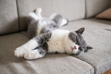 British Short-haired Cats Lie Down And Sleep.