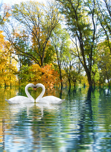 Fotografie, Obraz image of two white swans as a symbol of the heart