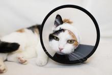Adult Cat Wearing A Plastic Co...