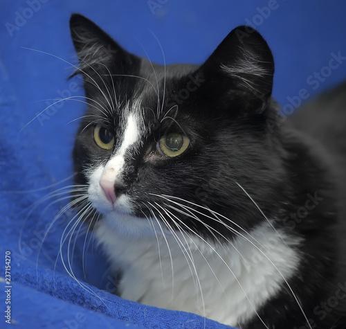 Fotografie, Obraz  Black and white cat on a blue background.