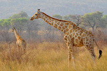 Two Giraffes (Giraffa) In Wate...