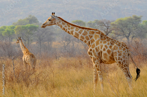 Two giraffes (Giraffa) in Waterberg Plateau Park a national park in central Namibia Canvas Print