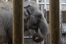 An Elephant Eats Hay Behind Steel Bars