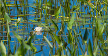 Springtime White Water Lily Partially Obscured, Hidden Among Water Grass And Reeds In And Along A Shallow Lake Shore.
