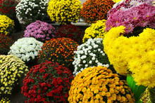 Plenty Of Beautiful Chrysanthe...