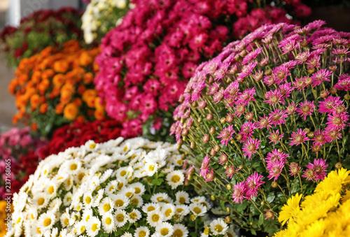 Plenty of beautiful chrysanthemum flowers Poster Mural XXL