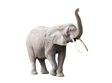 African Elephant Isolated On W...